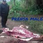 Mala Encuentran tres caballos muertos al parecer para comerciar su carne